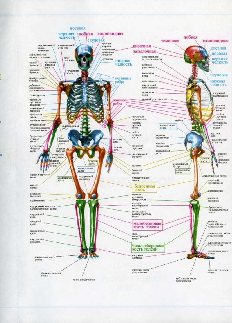 Анатомия человека в рисунке художник
